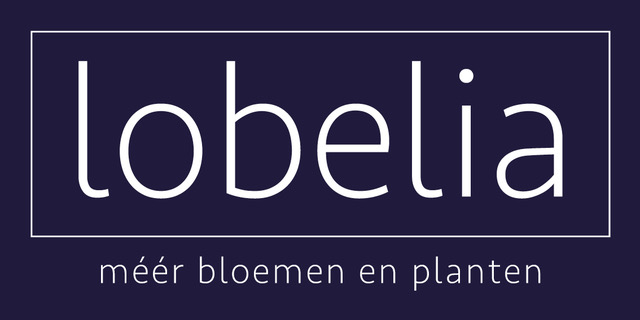 Lobelia bloemen